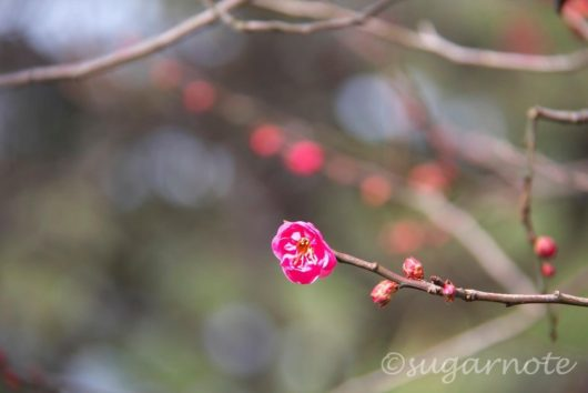 梅, Ume, Plum Flower