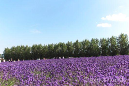 ファーム富田, ラベンダー畑, Farm Tomita, Lavender Farm