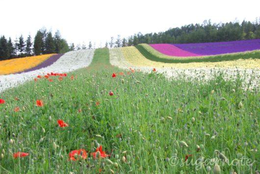 富田ファーム, Tomita Farm, ラベンダー畑, Lavender Farm