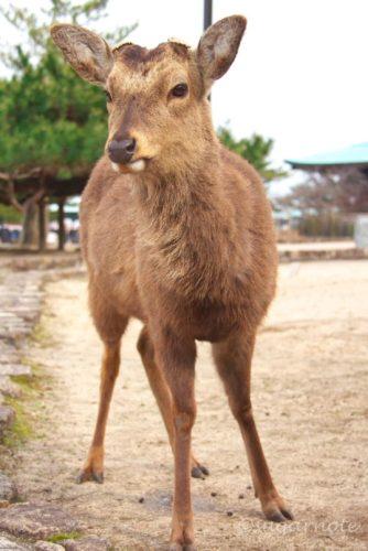 宮島の鹿, Deer at Miyajima