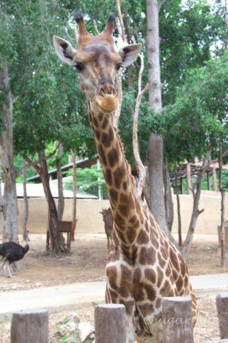 Chiangmai Zoo, チェンマイ動物園, キリン