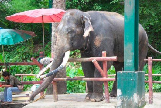 Chiangmai Zoo, チェンマイ動物園, 象