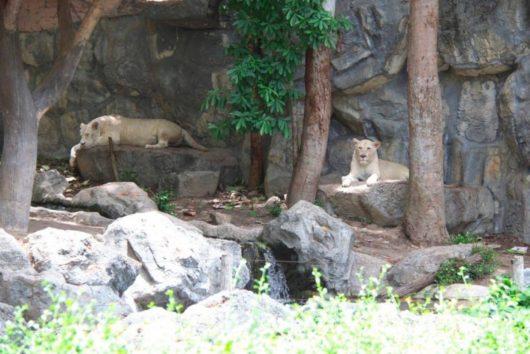 Chiangmai Zoo, チェンマイ動物園, ホワイトタイガー