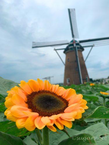風車のひまわりガーデン, Sunflower