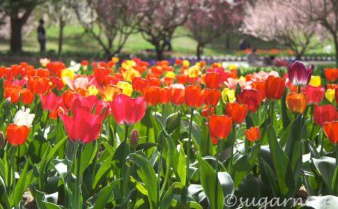 チューリップトップガーデンズ, Tulip Top Gardens